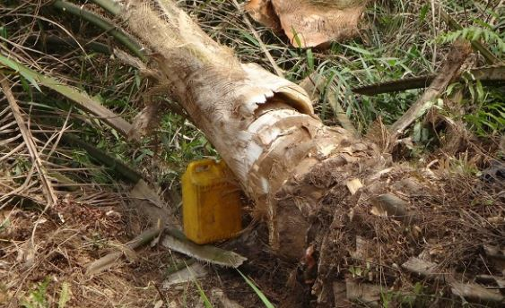 Drinking palm wine poses possible health risk