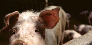 Swine Fever hits Central Region